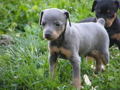 miniature pinscher puppies | Miniature-Pinscher-Puppies.jpg