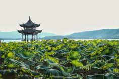Chine Hangzhou Lac de l'Ouest West Lake, Hangzhou, China Photo by Nathan Brayshaw — National Geographic Your Shot - Home to the poet, the artist and the giant lotus lilly.