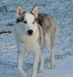 Star is an adoptable Husky Dog in Andover, MA. **Please read Star's entire profile, which includes a link to the adoption application. Thank you!** Star is an approx. 2 year old Husky mix with downy s...