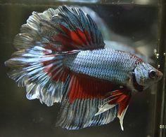 Live Betta Fish Metallic Mint Triple Butterfly Halfmoon Awesome Specimen | eBay