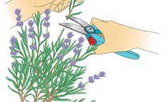 Lavendelzweige zur Vermehrung schneiden    Knipsen Sie mit einer Gartenschere einige Zweige oder Zweig-Enden von der Mutterpflanze ab. Sie sollten möglichst unverzweigte Triebe ohne auswählen, oder die verwelkten Blüten bei der Vermehrung im Spätsommer einfach abschneiden.
