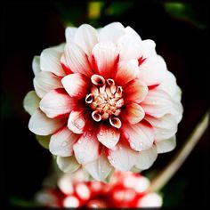 The one that sings in the rain. #pnw #macro_flowers #ig_flowers #flowerstalking #9vaga_flowersart9 #ig_mood #bestcaptureglobal #hot_macros #em_member #smallworld_uc #pocket_pretty #topfleur #fav_flowers_ #quintaflower #flowersandmacro #my_daily_flower #igscflowers #flipping_flowers #Macroandflora #macroclique #saylovetonature #tgif_macro #eye_for_earth #epix_flowerz #pocket_macro #flaming_flora #petal_perfection #lens_it2me