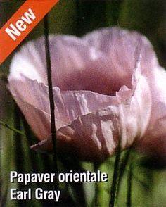 Earl Gray Oriental Poppy - Papaver - Sun/Light Shade