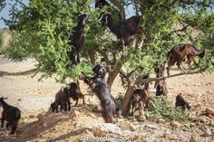 Goats in trees in Morocco: The goats soften the husk and process the argan seed.