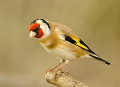 """Goldfinch (Carduelis carduelis)  This songbird is native to Europe, North Africa, western Asia and central Asia. It is classified as """"least concern"""" by the IUCN.Learn more. (photo byGreeeny)"""
