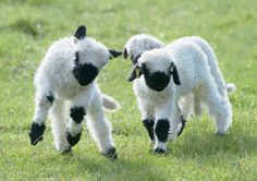 swiss blacknose sheep--awwwww