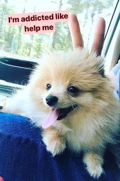 T-shirt, legging, hoodie for Pomeranian lovers. Order here: https://www.sunfrog.com/JohnyD/pompom-shirts