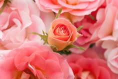"""Rose """"Rosilia"""" - Kletterrose"""