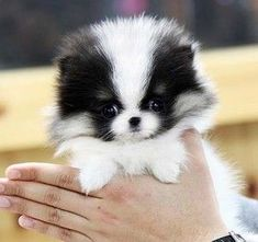 toy pomeranian puppies for sale Cute Puppies Toy Pomeranian Puppies, Teacup Puppies, Cute Puppies, Cute Dogs, Dogs And Puppies, Pomeranians, Doggies, Parti Pomeranian, Micro Teacup Pomeranian