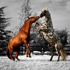 The difference between humans fighting and horses fighting is that - horses don't bully - in the wild it is about being the main stallion All The Pretty Horses, Beautiful Horses, Animals Beautiful, Cute Animals, Majestic Horse, Majestic Animals, Horses And Dogs, Wild Horses, Horse Photos