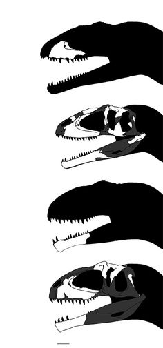 De haut en bas : Mapusaurus roseae, MCF-PVPH-108,169, ~ 160 cm ; Mapusaurus roseae, MCF-PVPH-108,115, ~ 137 cm ; Giganotosaurus carolinii, MUCPv-95, ~ 151 cm ; Giganotosaurus carolinii, MUCPv-CH-1, ~ 148 cm. Par MysteryMeat / Carnivoraforum.com