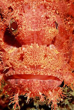 The tassled scorpionfish in the Solomon Islands of the South Pacific is a venomous, carnivorous fish.