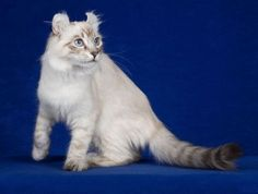 american-curl-cat-4 - See More Tops Cat Breeds at Catsincare.com!