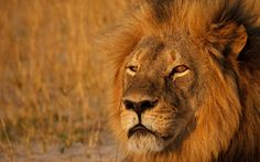 How The Loss Of Cecil The Lion Sparked Change In Wildlife Policies