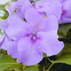 500 Impatiens seeds Accent Lavender