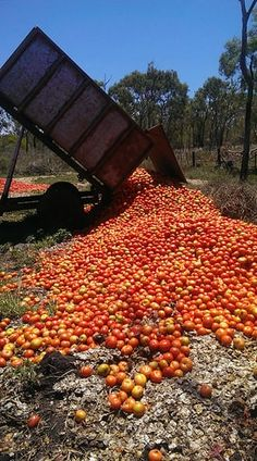 Rejected tomatoes being dumped in a Bundaberg field.