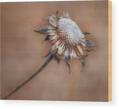 """The simplicity of a single dried wildflower against a soft sepia background in """"Perfect Imperfection"""" by Nikolyn McDonald is especially well suited to being printed on wood. weed,autumn,fall,simple,autumn,brown,close,nature,one,solitude,nikki,nikolyn,mcdonald"""