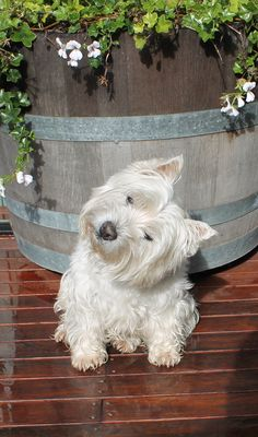 Do all westies turn their head like this? My Bella sure does.