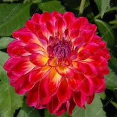 100 pcs/bag dahlia flower dahlia seeds charming bonsai flower seeds (not dahlia bulbs) High germination home garden potted plant