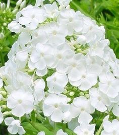 30+ WHITE PHLOX  / SELF-SEEDING ANNUAL / HIGHLY FRAGRANT  Sister Peterson FedEx'd me starts - beautiful