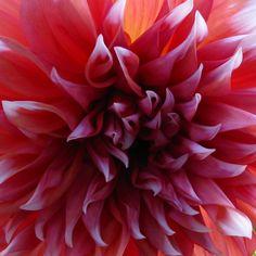 Dinner+Plate+Dahlias | ... gardening picture of dinner plate dahlia, 'Holland's Festival