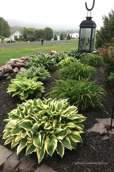 Growing Hostas in your Garden with Easy Maintenance Tips - - Growing hostas does not require much work at all. Here are a few tips on how to grow and maintain beautiful hostas in your garden. Front Garden Landscape, Small Front Yard Landscaping, House Landscape, Outdoor Landscaping, Outdoor Gardens, Landscaping Equipment, Sloped Backyard, Front Yard Gardens, Michigan Landscaping