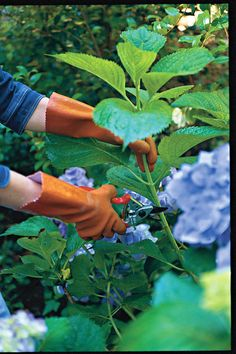 Remember to do this in late July or August: root branches and grow more hydrangeas! Also, great tips about hydrangea care and planting. Maybe I can plant a celebration hydrangea after baby's arrival? Garden Yard Ideas, Diy Garden, Lawn And Garden, Dream Garden, Garden Projects, Garden Plants, Garden Landscaping, Garden Gate, Herb Garden