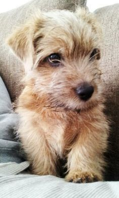 Not my dog, but Norfolk Terriers are cute as a button.