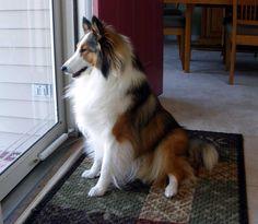 Mackenzie. What a beautiful girl #sheltie #shetland sheepdog