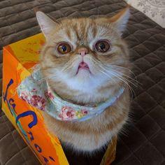 Pre-emptive taco tongue tmonday  #exoticshorthair #cat #cute #flatface #kitten #meow #pet #mreggs #catlover #exoticsofinstagram #smushface #weeklyfluff #tacotongue #ttt