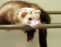 .love my ferrets