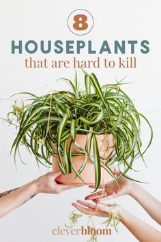 If you're looking for houseplants that are hard to kill, look no further! Check out these must have houseplants by Clever Bloom. #houseplants #hardtokillplants Perfect Plants, Cool Plants, Pink Leaf Plant, Indoor Floor Plants, Planting Succulents, Planting Flowers, Crassula Ovata, Jade Plants, Pink Leaves