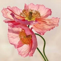 Like Light through Silk - peach / pink translucent poppy floral Art Print by Micklyn Le Feuvre Arte Floral, Motif Floral, Floral Prints, Art Prints, Floral Rug, Watercolor Flowers, Watercolor Art, Painting Flowers, Pink Flowers