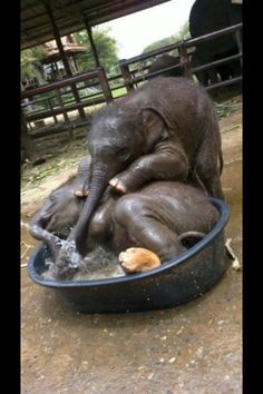 Baby elephants playing in a pool :)