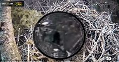 Sosok Bigfoot Terekam Kamera di Hutan Michigan