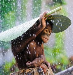 "megarah-moon: "" ""Orangutan In The Rain"" by Andrew Suryono ""I was taking pictures of some Orangutans in Bali and then it started to rain. Just before I put my camera away, I saw this Orangutan took a..."