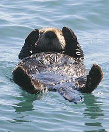 Sea-otter-morro-bay on-back - Sea otter - Wikipedia, the free encyclopedia