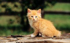 Filename: kitten wallpaper free hd widescreen JPG 429 kB Resolution: File size: 429 kB Uploaded: Wadsworth Butler Date: Cute Kittens, Cute Little Kittens, Funny Cute Cats, Baby Kittens, Cats And Kittens, Animals And Pets, Cute Animals, Baby Animals, Funny Animals