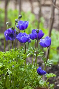 Anemone coronaria, rich, deep blue-purple. The pollinator insects seem to particularly go for this colour and the centre of the flower is often filled with a big fat bumble bee with golden pollen all over its legs.