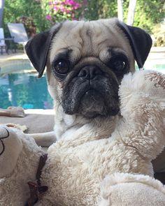 Sweet boy #mamasboy . . . #pug #pugs