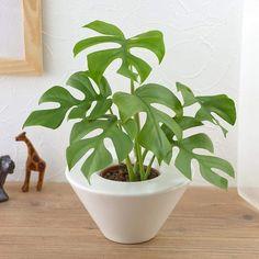 Foliage Plants, My Room, House Plants, Planter Pots, Garden, Conservatory, Plants For Home, Garten, Indoor House Plants