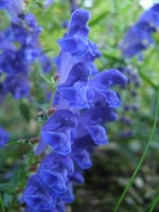 Aconite. A beautiful and valuable herb.