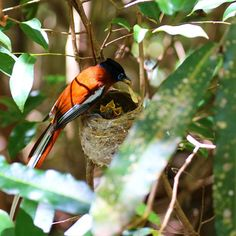 The female left seconds before this male Madagascar paradise flycatcher arrived with some food for their chicks - got a glimpse of them for just a few seconds, a wonderful experience!  Follow @work.sleep.travel.repeat  #madagascar #bird #birdphotography #chicks #family #wildlife #wildlifephotography  #travel #traveling #visiting #instatravel #instago #instagood #trip #holiday #birding #flycatcher #travelling #tourism #f4f #beautiful #nature #photography #tourist #instapassport… Madagascar, Wildlife Photography, Bird Feeders, Repeat, Travelling, Tourism, Paradise, Sleep, Female
