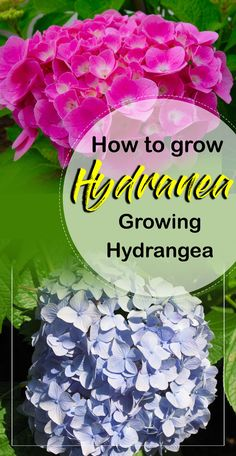 How to grow hydrangea, growing information hydrangeas, Hydrangea Care, How to Prune a Hydrangea. Hydrangea is a shrub that blooms in spring and summer. Clematis Plants, Hosta Plants, Clematis Vine, Flowering Plants, Hydrangea Care, Hydrangea Not Blooming, Hydrangea Flower, Growing Hydrangea, Types Of Hydrangeas