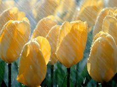 Cool Cvijeće na kiši Wallpaper HD Pozadine Check more at http://pozadine.info/proljece/cvijece-na-kisi/