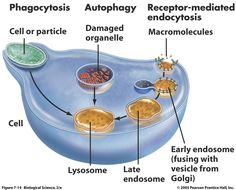animals plants and search on pinterest : lysosome diagram - findchart.co