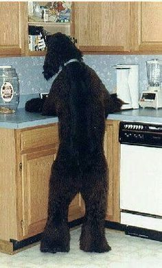 Standard Poodle surfing the counters!LOL!!TYPICAL...