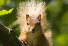 Photographing wild life in the UK, red squirrel.
