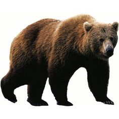 grizzly_bear_photo_T.png 600×482 pixels ❤ liked on Polyvore featuring bears and animals