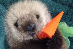 Video: Baby sea otter arrives at Vancouver Aquarium   Metro News